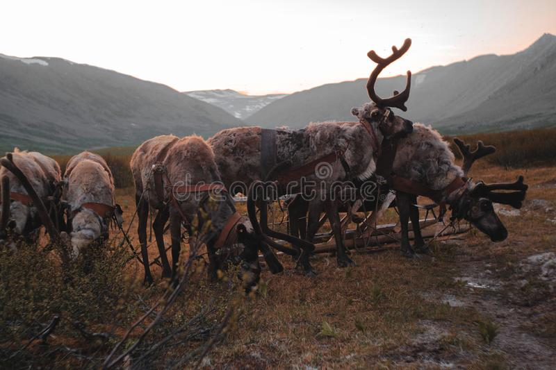 The Urals landscape. Russia landscape. The Ural Mountains. Reindeer.  royalty free stock photos