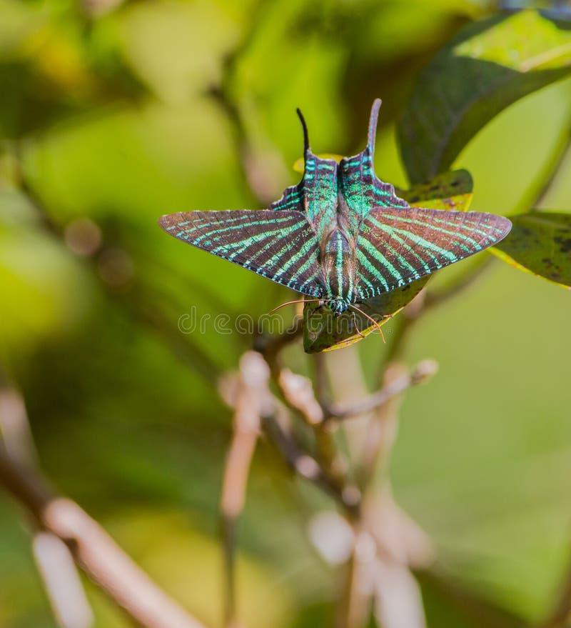 Urania Sunset Moth fotos de stock