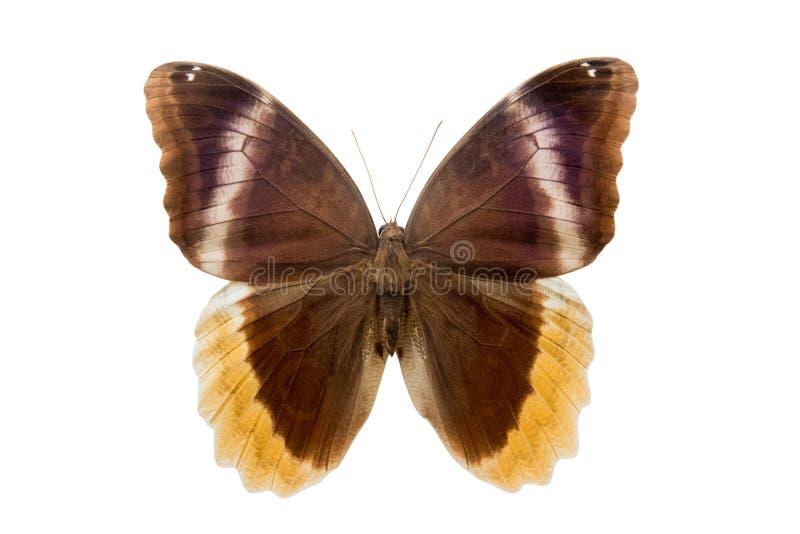 Urarus Caliqo πεταλούδων στοκ εικόνες