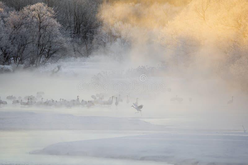 Żurawie w mgle: Dźwigowy bieg przez wody obrazy royalty free