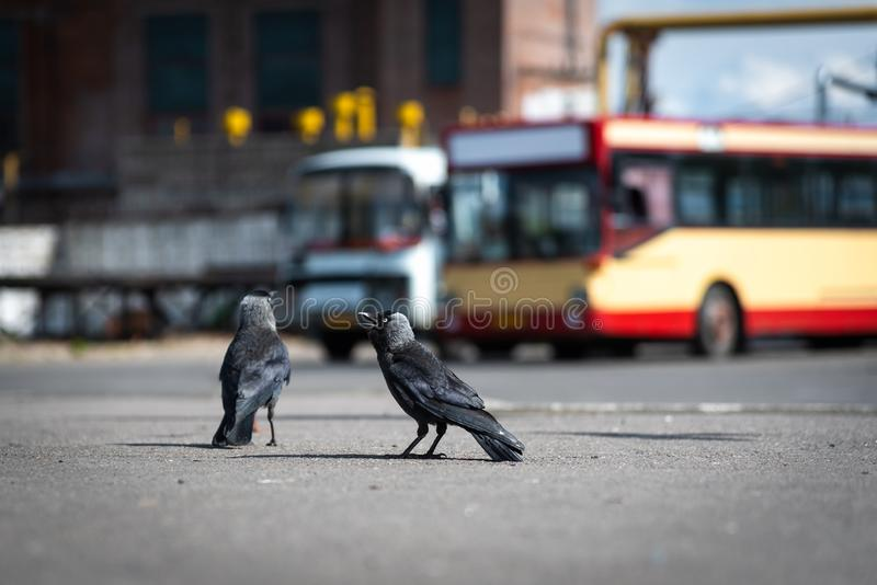 Urban birds pigeons and jackdaws at the bus station. On a sunny day close-up stock photo