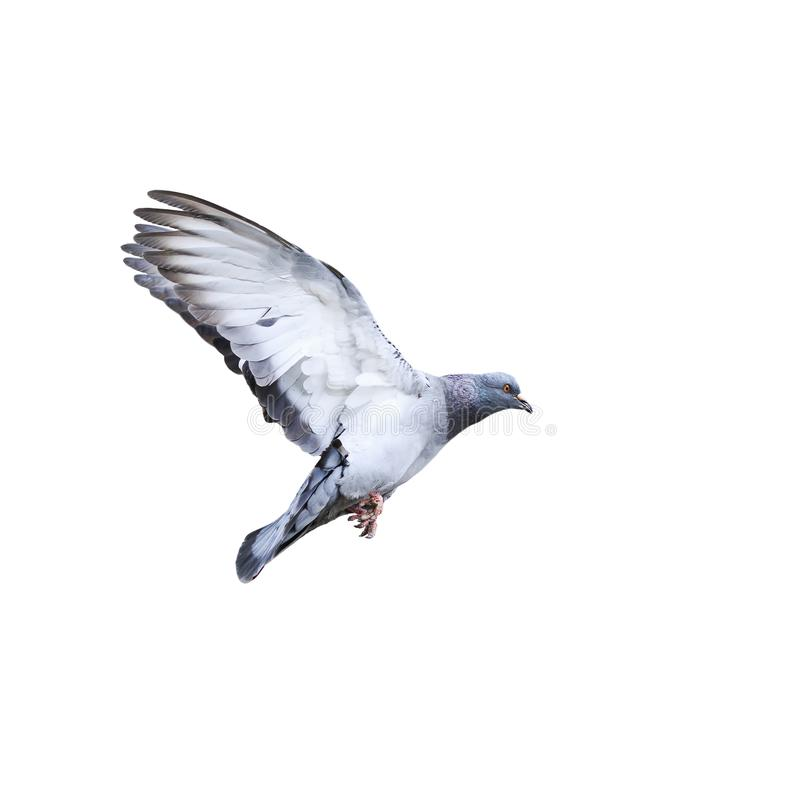 Free Urban Dove Flying And Landing On A White Isolated Background Stock Photo - 112582330
