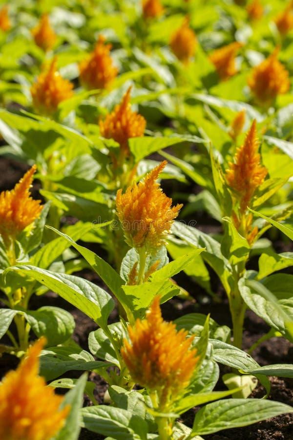 Urban flowerbed group Celosia orange yellow, decorative garden plants, landscaping cities. Flower broom amaranth fluffy vertical royalty free stock photos
