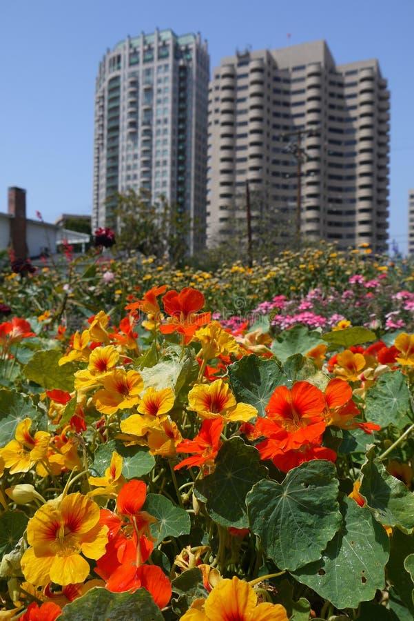 Urban garden: orange flowers highrise towers stock image