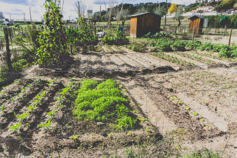 Urban gardening. City urbanized vegetable garden. Growing, farming vegetables in the city. Agriculture of organic hand grown food. Self sustained system of royalty free stock images