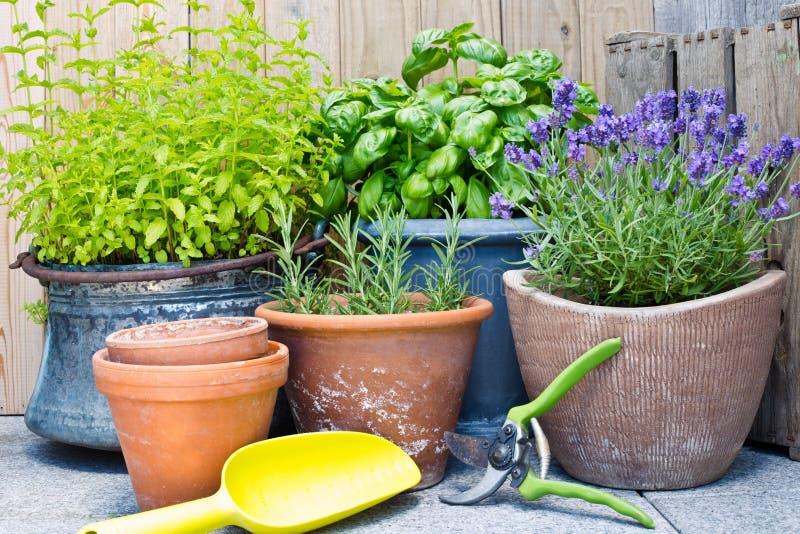 Urban gardening, fresh herbs in pots royalty free stock image