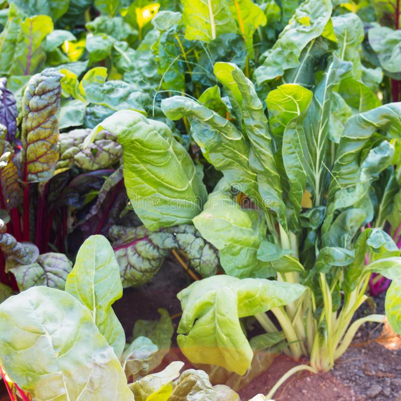 Close up of green and red swiss chard growing in a vegetable garden. Urban gardening. Growing swiss chard in the home garden to save money and eat organic royalty free stock photos