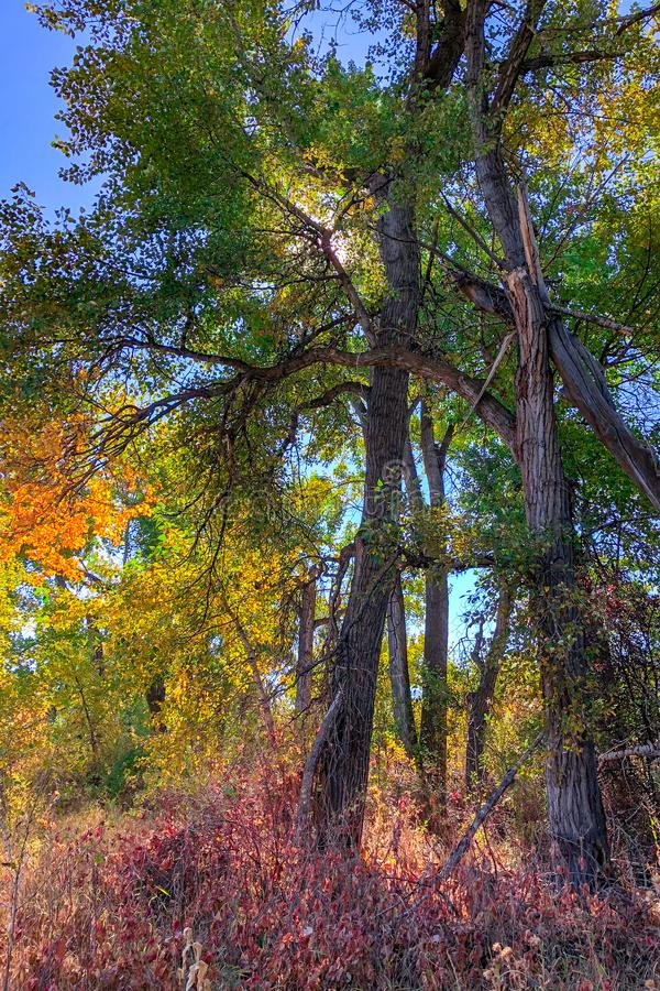 Fall colors on the Boise River in Southeast Boise, Idaho. Urban green space with cottonwood trees royalty free stock photography
