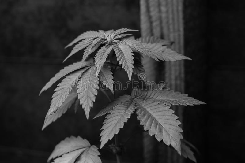 Urban Grow Medical Marijuana royalty free stock photography