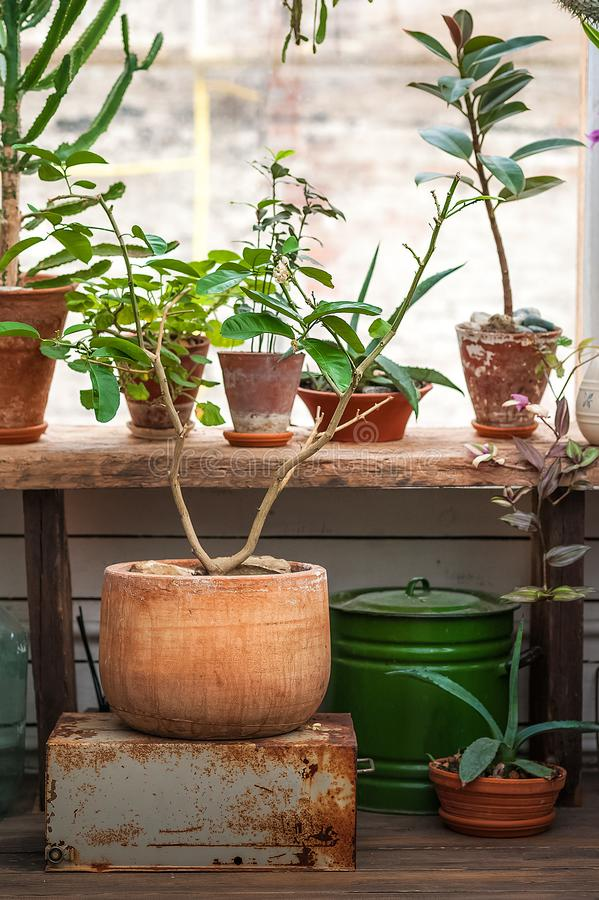 Urban jungle. Winter garden with plants, flowers. Garden in the house, transplanting plants. Urban jungle. Winter garden with plants, flowers. Garden in the royalty free stock photography