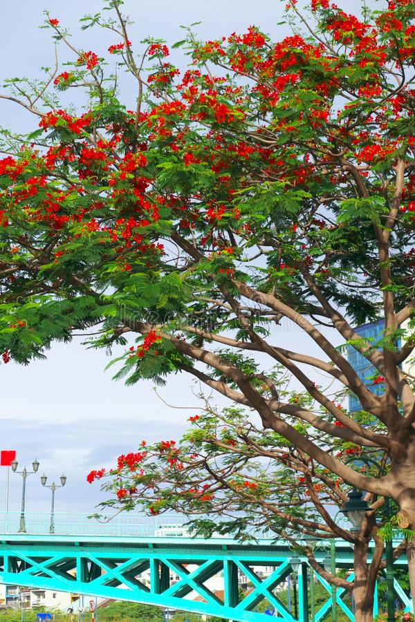 Urban landscape of Ho Chi Minh city with cyan bridge and phoenix flower tree blossom in red. Beautiful urban landscape of Ho Chi Minh city on day with cyan stock images