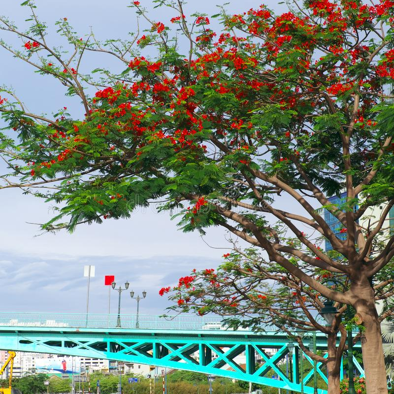 Urban landscape of Ho Chi Minh city with cyan bridge and phoenix flower tree blossom in red. Beautiful urban landscape of Ho Chi Minh city on day with cyan stock image