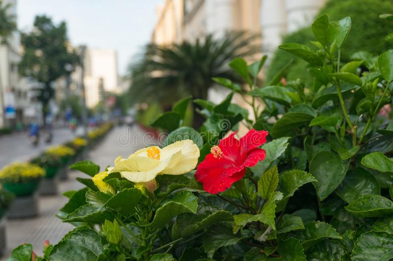 Urban nature background of bright hibiscus flowers stock photo