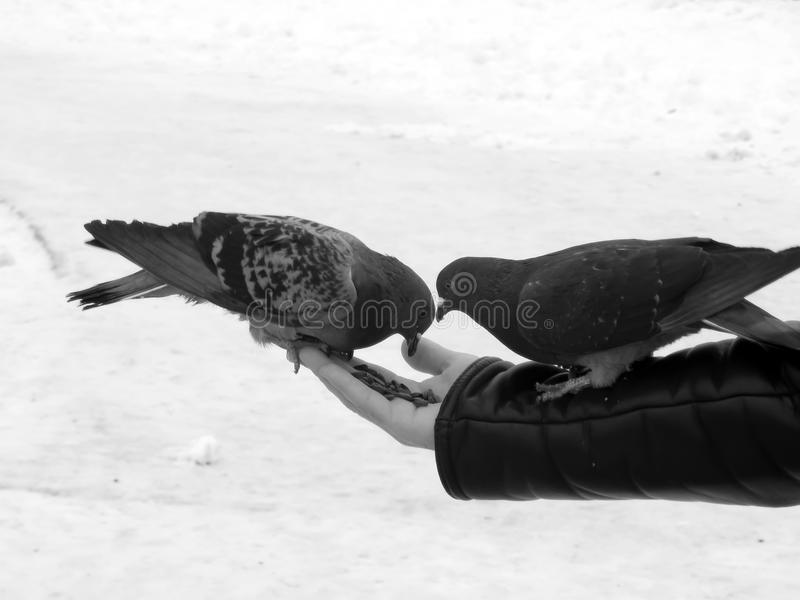 Urban pigeon in black and white image. Close-up stock image