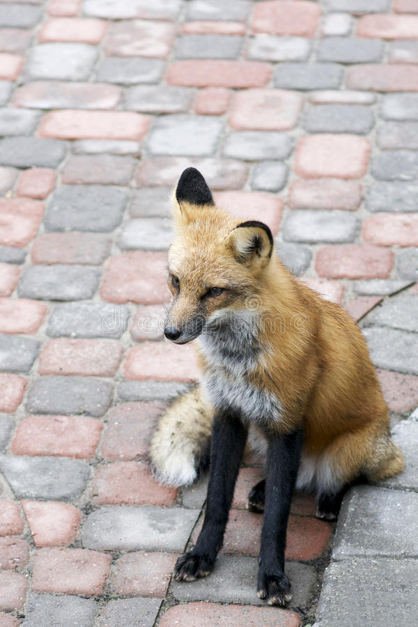 Download Urban Red Fox Stock Image - Image: 21585901