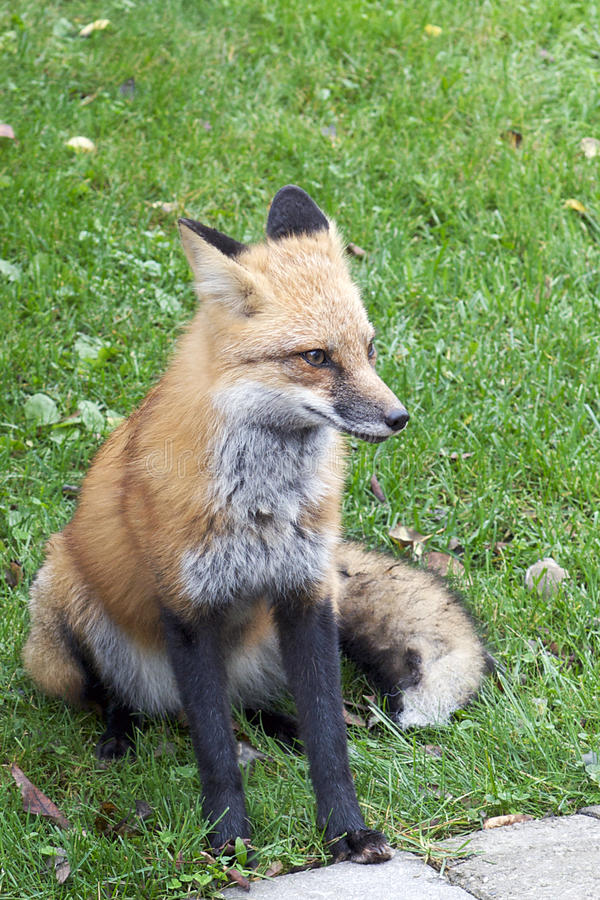 Download Urban Red Fox stock image. Image of large, expansion - 21586091