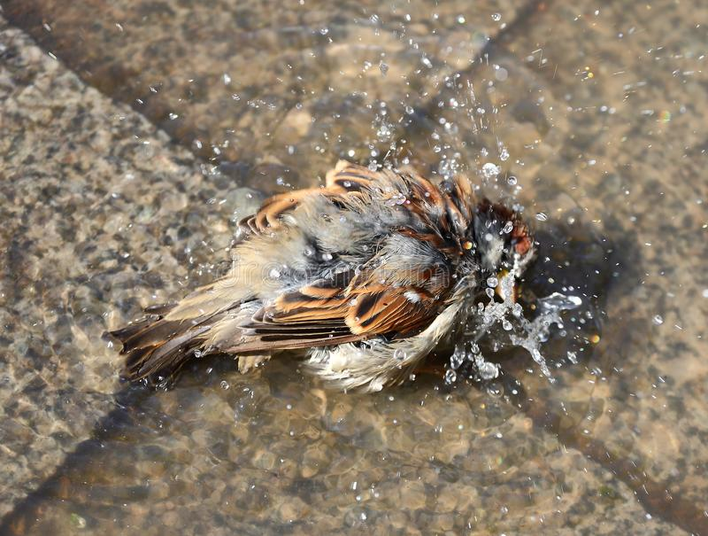 The urban Sparrow bathing in a puddle stock photos