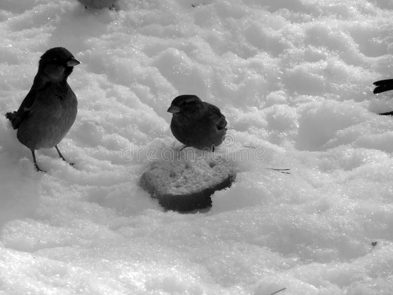 Urban sparrow on the snow on the black and white image. Closeup stock images