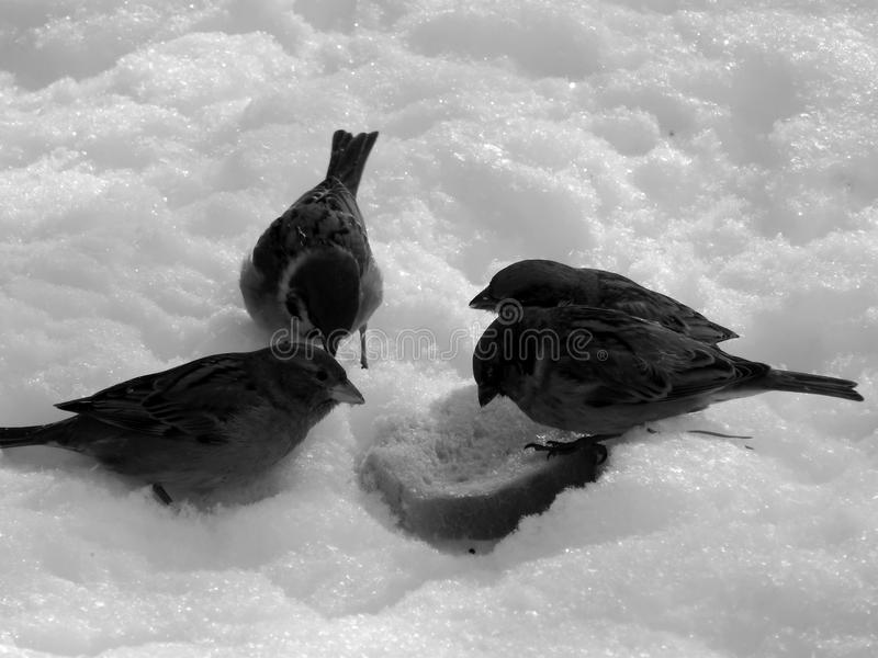 Urban sparrow on the snow on the black and white image. Closeup royalty free stock photography
