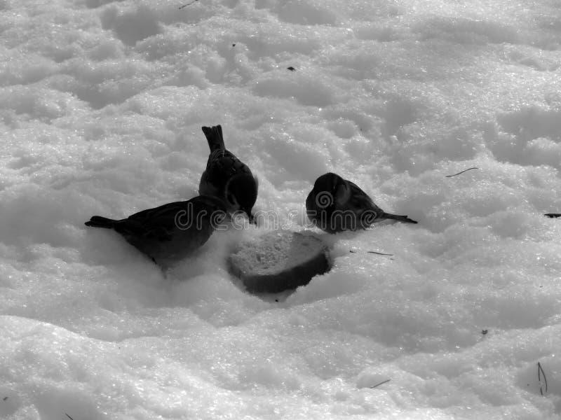 Urban sparrow on the snow on the black and white image. Closeup stock photo