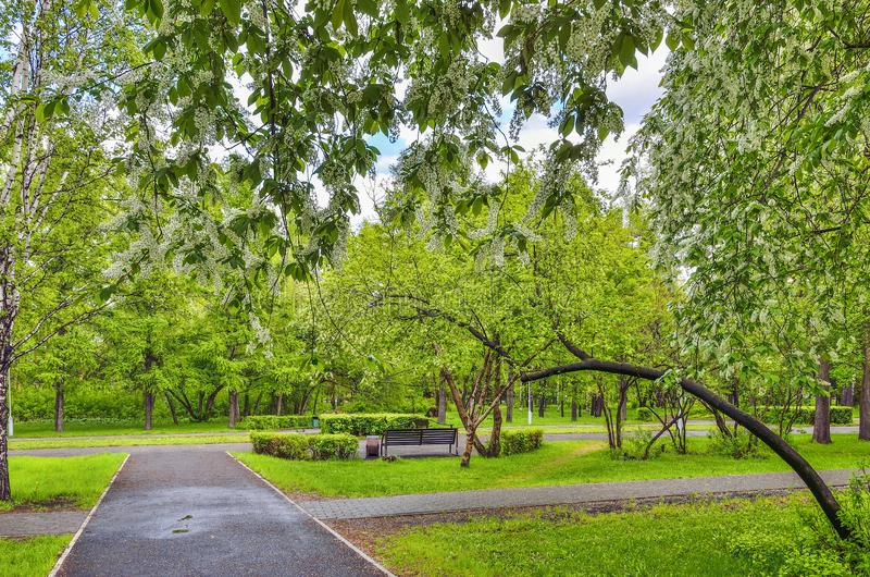 Urban spring landscape in city park with blossoming bird cherry trees stock photos