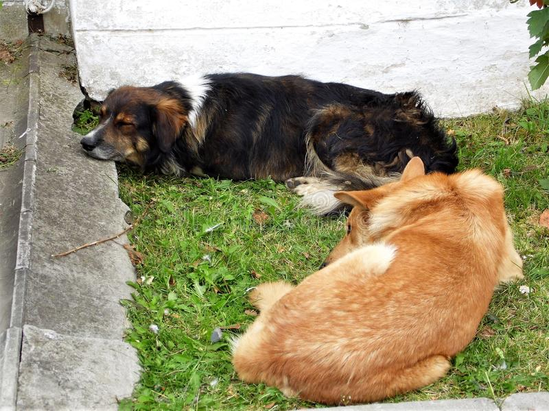 Urban stray dogs. Waking up in the morning urban stray dogs. It`s time to start looking for food royalty free stock images
