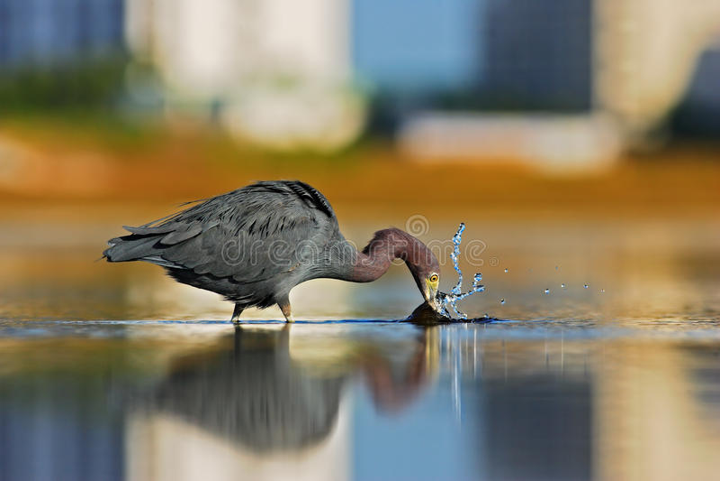 Urban wildlife. Hunting bird in Fort Myers lagoon. Water bird sitting in the water. Water bird Tricolored Heron, Egretta royalty free stock photography