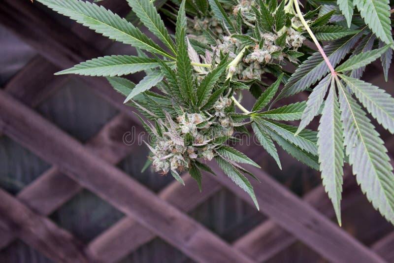 Urbano coltivi la marijuana medica immagini stock