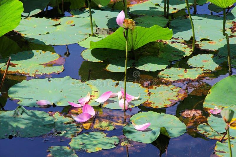 Urblekt lotusblomma/Lotus Lake/, royaltyfria foton