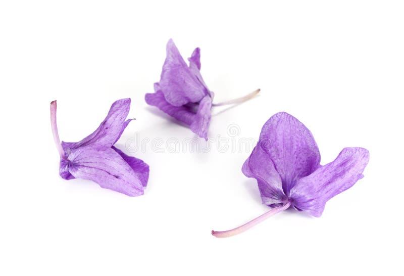 Urblekt orchid fotografering för bildbyråer