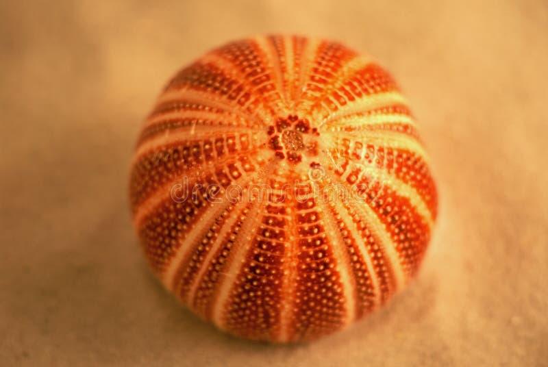 Urchin royalty free stock image