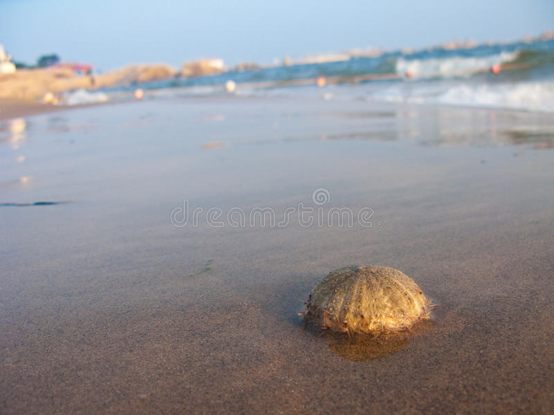 Download Urchin On The Beach Royalty Free Stock Images - Image: 11104249