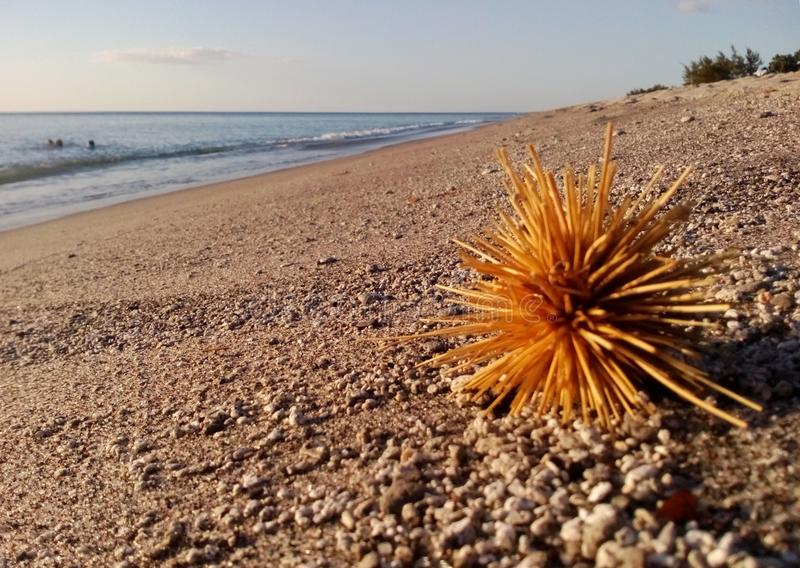 Yellow Urchin thrown by storm out of the sea onto Pundaquit Beach in twilights near San Antonio, Philippines stock photo