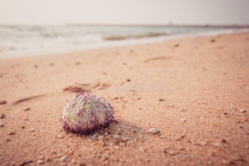 Urchin macro photography. Close up at beach backround royalty free stock image