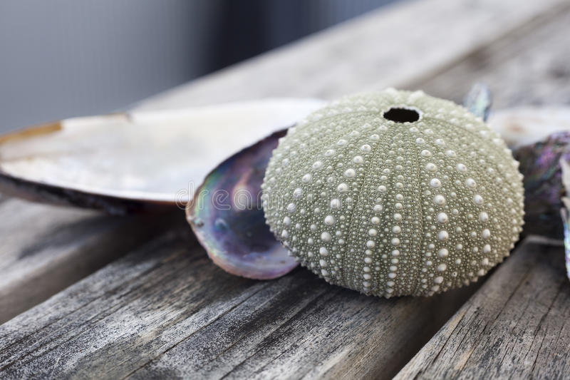Urchin Shell Stock Photo