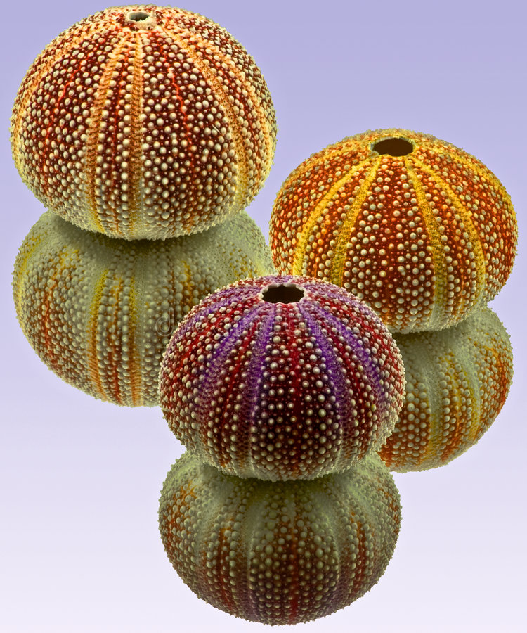 Download Urchins Three Royalty Free Stock Photography - Image: 6479047