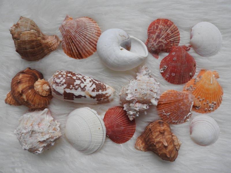 各种各样的海洋动物urcihn,蜗牛,沙钱,壳,在白色的螃蟹的汇集 免版税库存图片