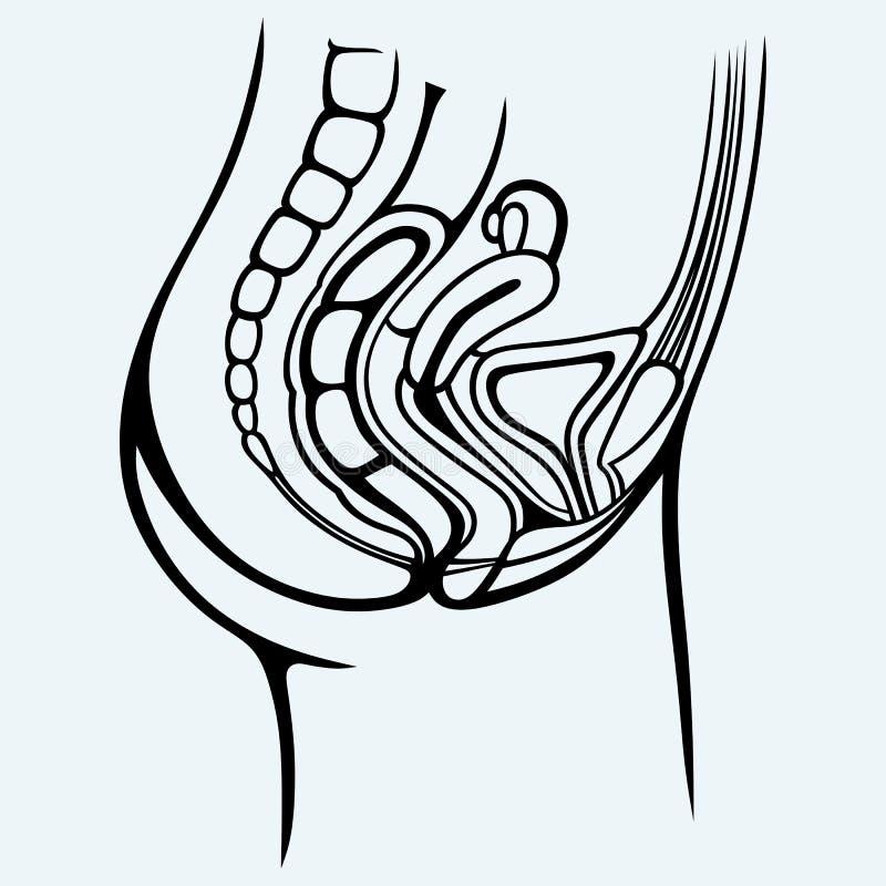 urin- kvinnligsystem stock illustrationer