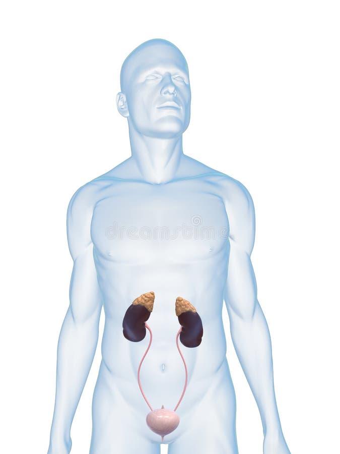urin- mänskligt system royaltyfri illustrationer