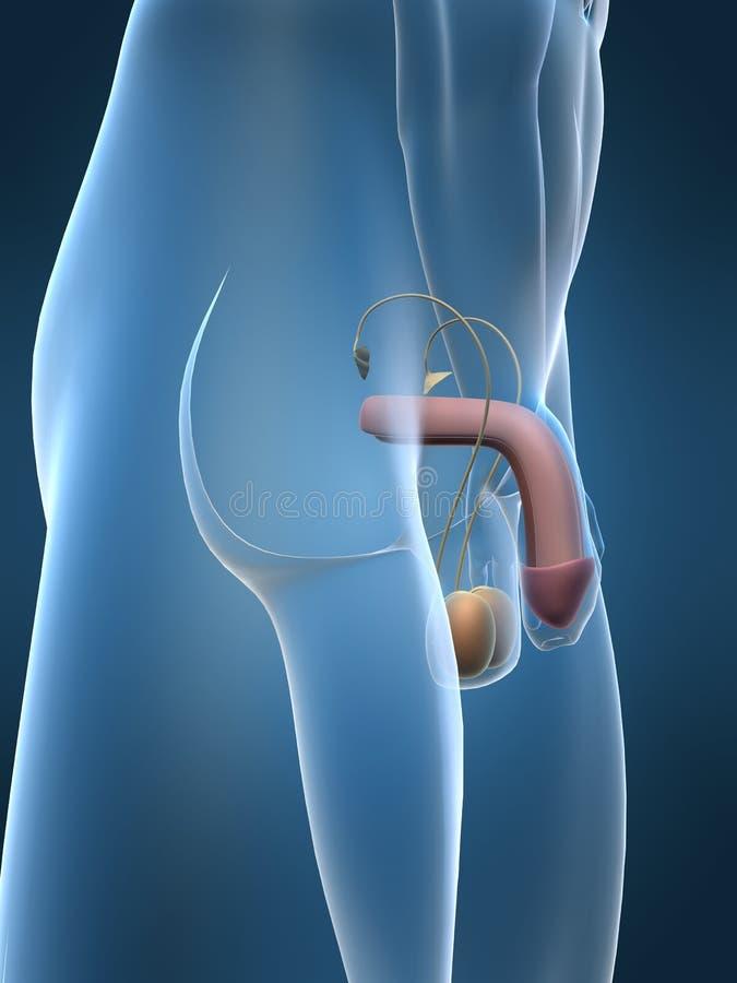 urinary ilustracja wektor