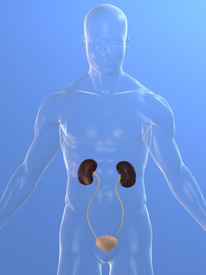 Urinary system royalty free illustration