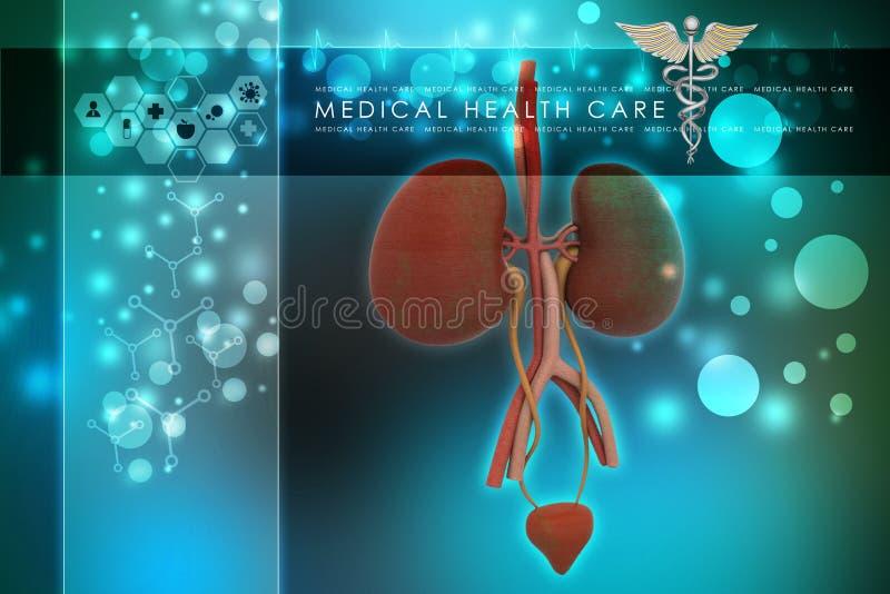 Urine systeem royalty-vrije illustratie