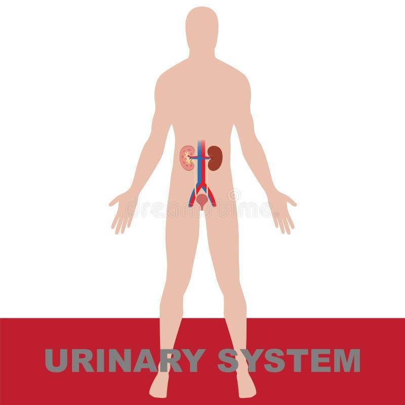 Urine systeem stock illustratie