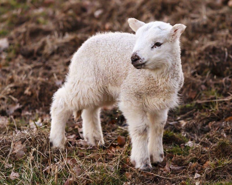 Uriner anglais d'agneau photos libres de droits