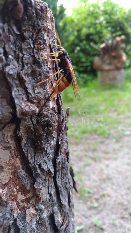 Urocerus gigas royalty free stock images