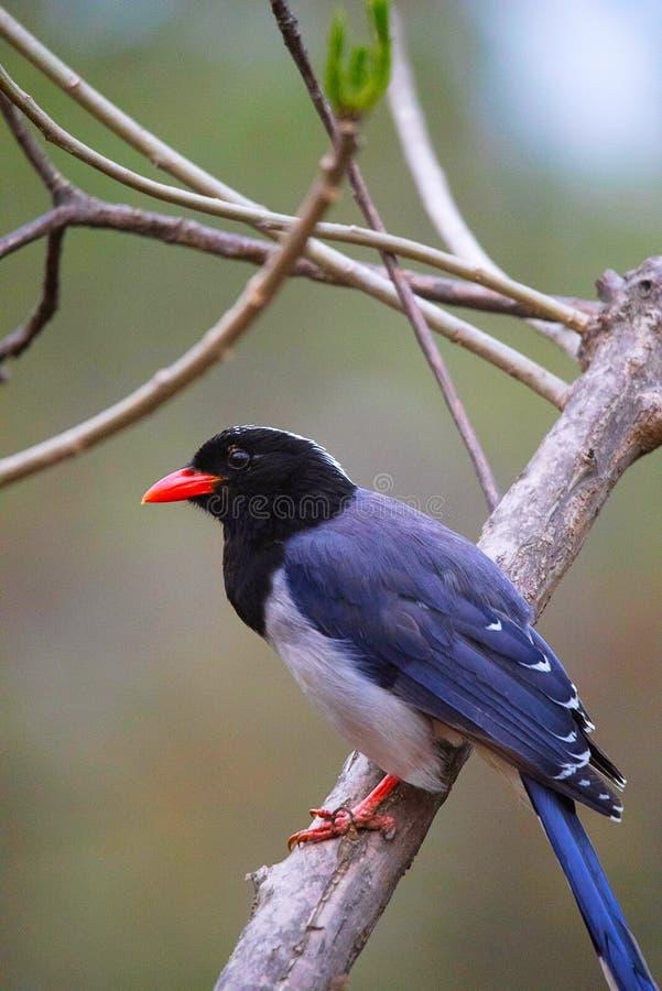 Urocissa erythroryncha, röd fakturerad blå skata royaltyfri bild