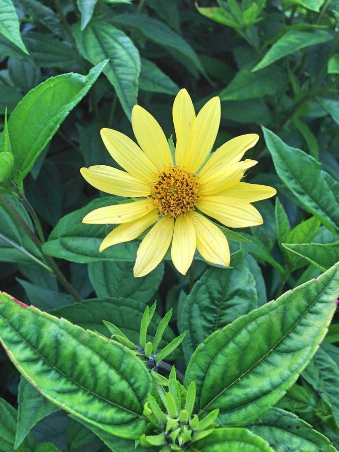 Urocza żółta helianthus cytryny królowa fotografia royalty free