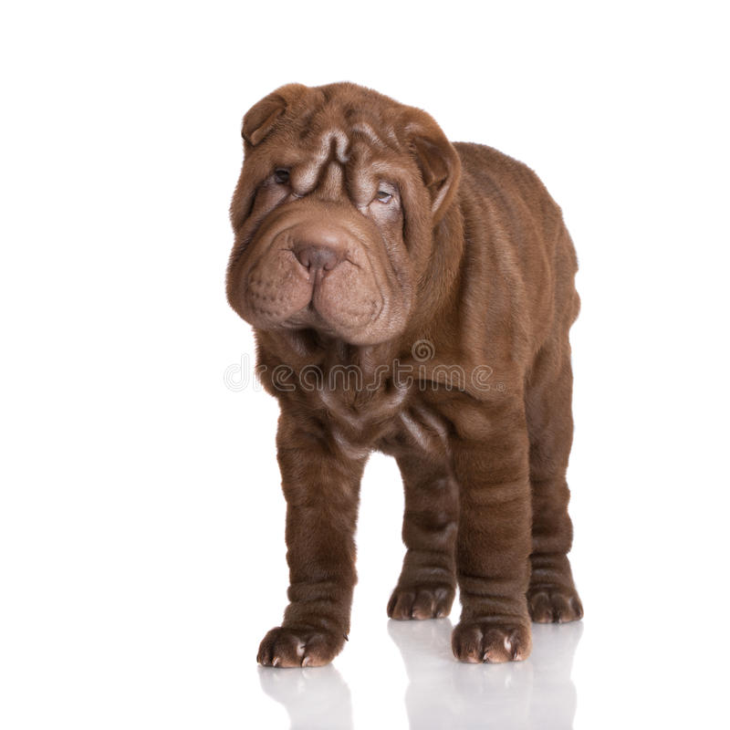 Urocza brown shar pei szczeniaka pozycja zdjęcia royalty free