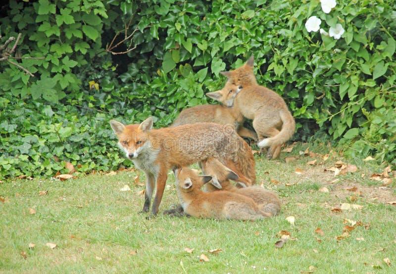 Urocza Fox rodzina zdjęcia royalty free