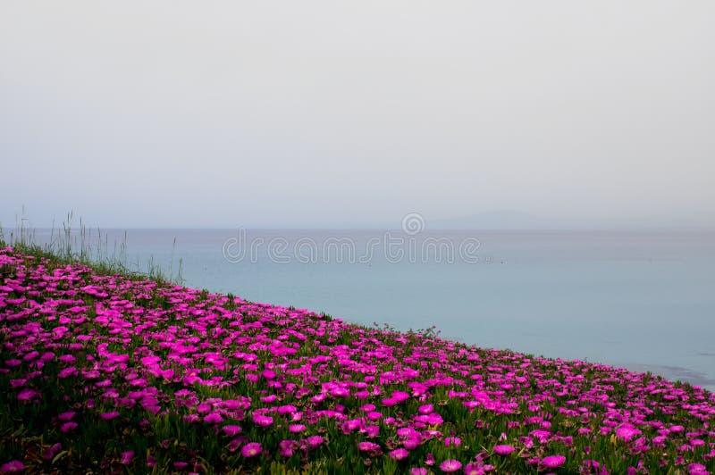 Urocza jaskrawa czerwień kwitnie na wybrzeżu półwysep Kassandra, na morzu egejskim obrazy royalty free